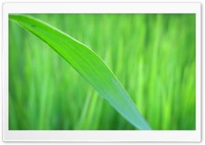Green Long Leaf