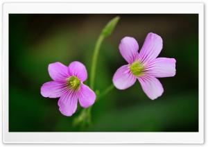 Lavender Sorrel Flowers Macro