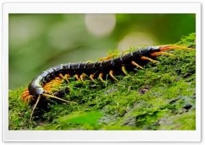 Giant Centipede Macro