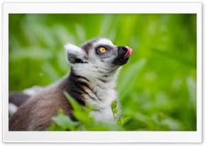 Ring Tailed Lemurs Tongue Out
