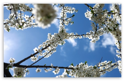 Download White Blossoms UltraHD Wallpaper