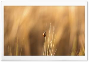 Ladybird On A Wheat Stalk