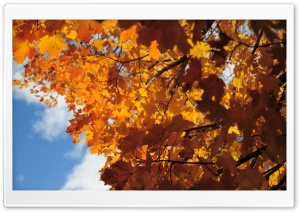 Rust Colored Maple Leaves