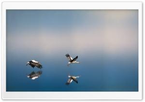White Storks Flying Above the...