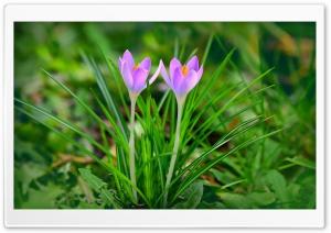 Spring Flowers Purple Crocus