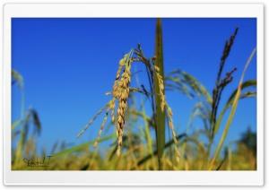 Rice Spikes - Blue Sky
