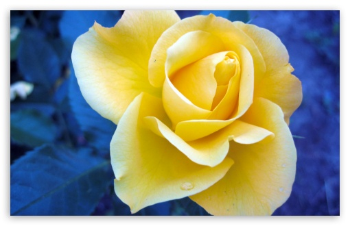 Download Yellow Rose Against A Blue Background UltraHD Wallpaper