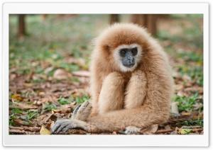 Lar Gibbon Primate