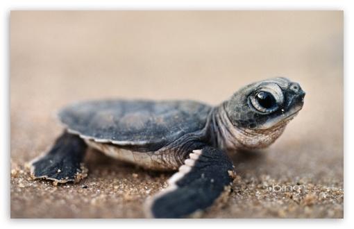Download Bing Baby Turtle UltraHD Wallpaper