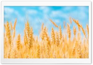 Golden Ears of Wheat, Blue Sky