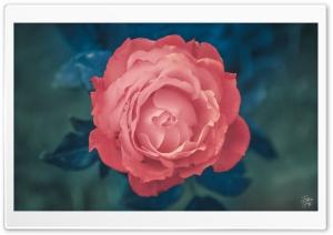rose gone pink........