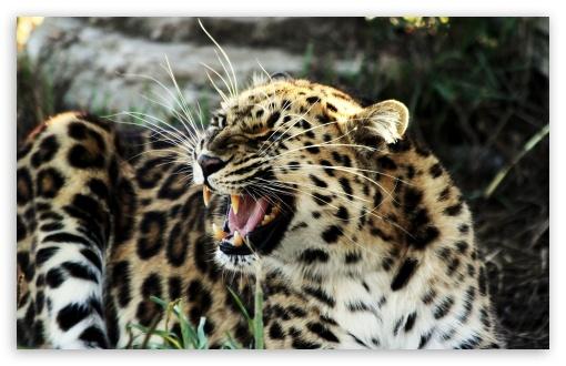 Download Roaring Leopard UltraHD Wallpaper
