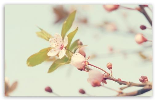 Download Cherry Flowers Buds UltraHD Wallpaper