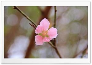 Vietnams Peach blossom