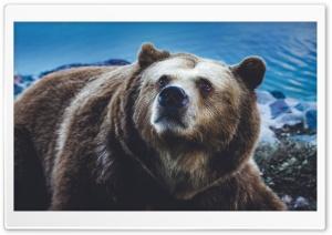 Big Brown Bear Wild Animal