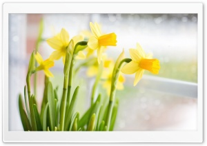 Yellow Daffodils Flowers near...