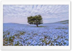 Nemophila Flower Field