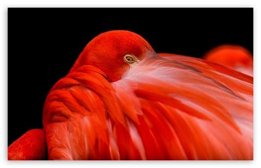 Download Flamingo Bird UltraHD Wallpaper