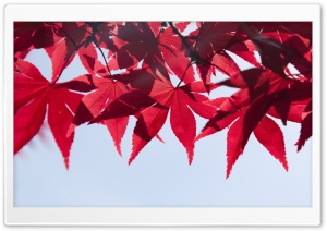 Red Japanese Maple Leaves, Fall