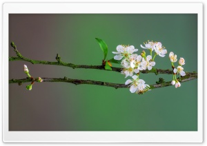 Blossom Tree Branch, Spring