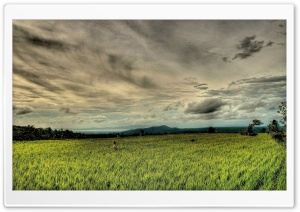Rice Field HDR