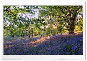 English Bluebells Flowers