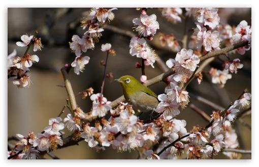 Download Plum Blossoms UltraHD Wallpaper