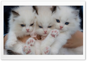 Fluffy White Kittens with...