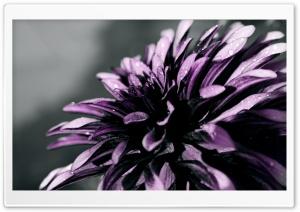 Purple Chrysanthemum Macro