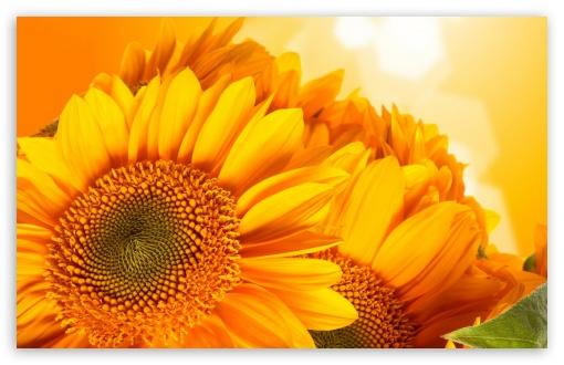 Download Golden Sunflowers UltraHD Wallpaper