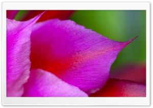 Cactus Flower Petals Macro