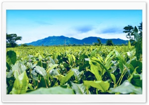 Tea Estate and Mountain