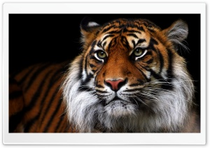 Beautiful Tiger Animal