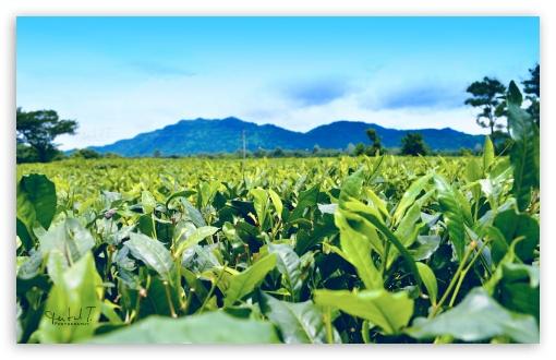 Download Tea Estate and Mountain UltraHD Wallpaper