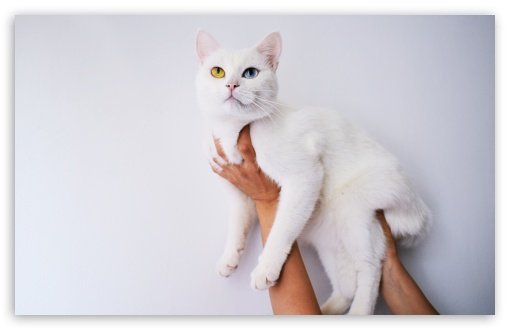 Download Cool White Cat UltraHD Wallpaper