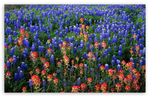 Download Field Of Texas Paintbrush And Bluebonnets... UltraHD Wallpaper