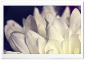 White Petals Macro