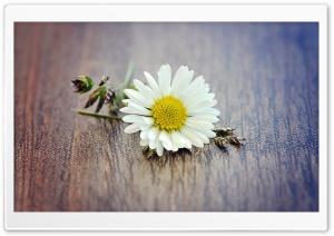 White Daisy Petals Macro