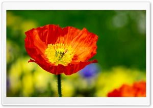 Iceland Poppy Orange Flower