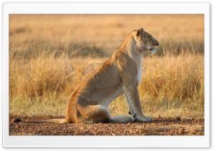 Lioness On Yellow Grass