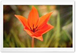 Star Like Tulip
