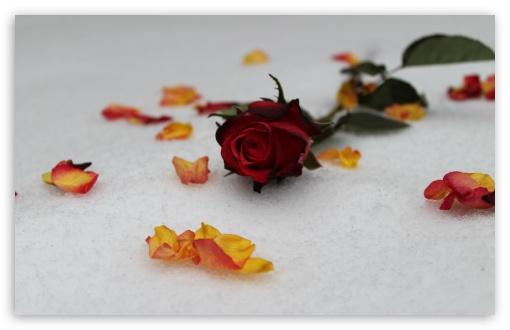 Download Roses In Snow UltraHD Wallpaper
