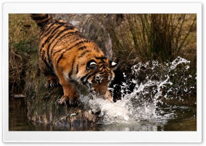 Tiger Playing With Water