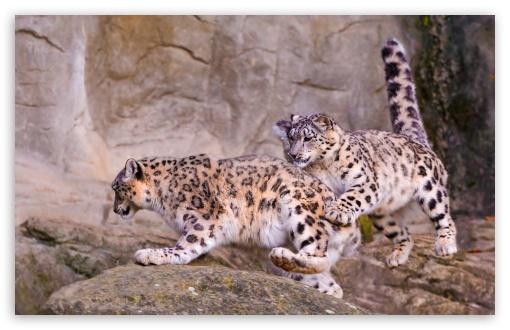 Download Snow Leopard Jumping UltraHD Wallpaper