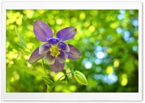 Columbine Flower, Green Bokeh...