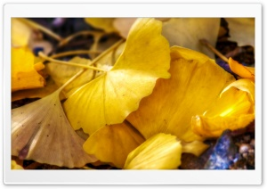 Fallen Ginkgo Leaves