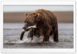 Brown Bear With Fish