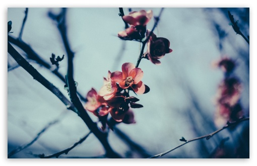 Download Spring Blossom, Gloomy Day UltraHD Wallpaper