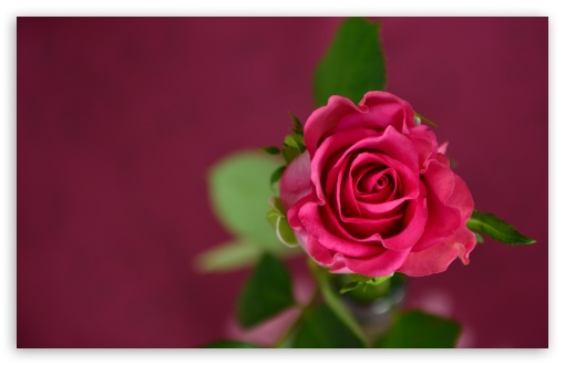 Download Valentines Day Pink Rose UltraHD Wallpaper