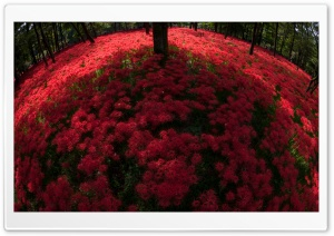 Red Spider Lilies Blooming By...